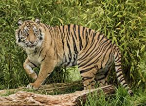 Картинки Большие кошки Тигры