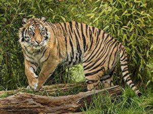 Картинка Большие кошки Тигры