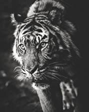 Картинки Большие кошки Тигры Черно белое Усы Вибриссы Животные