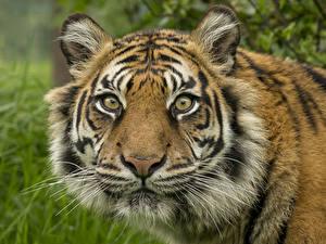Фотографии Большие кошки Тигры Морда Смотрит Усы Вибриссы