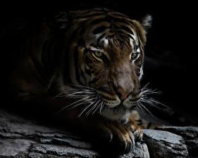 Обои Большие кошки Тигры Морда Усы Вибриссы Животные