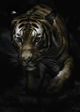Фотография Большие кошки Тигр Усы Вибриссы животное