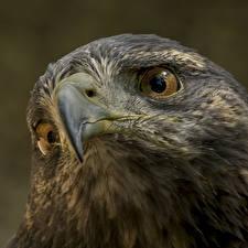 Картинки Птицы Вблизи Ястреб Голова Клюв