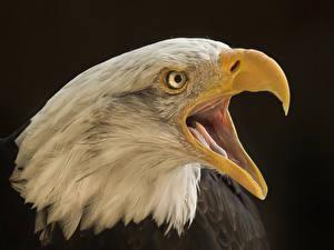 Фотография Птицы Орлы Вблизи Клюв Голова