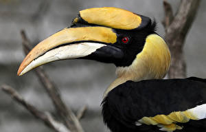 Фотография Птицы Клюв Great hornbill