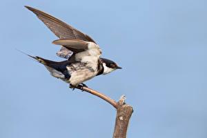 Фотографии Птицы Цветной фон Крылья swallow Животные