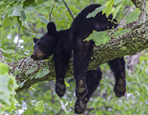 Фотографии Медведи Бурые Медведи Ветвь