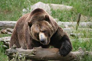 Обои Медведи Гризли Бревна