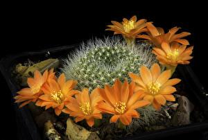 Фотография Кактусы Вблизи Оранжевая