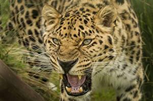 Обои Клыки Большие кошки Леопард Усы Вибриссы Оскал животное