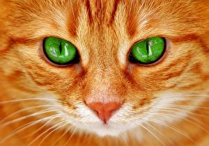 Обои для рабочего стола Кошка Вблизи Глаза Смотрит Морды Рыжий Животные