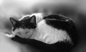 Фотографии Кошки Рисованные Спит Черно белое Животные