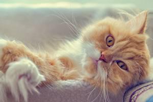Картинки Коты Персидская кошка Смотрит Животные