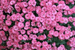 Фотографии Хризантемы Много Розовый Цветы