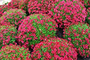 Обои Хризантемы Много Красный Цветы