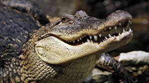 Картинка Крокодилы Вблизи Голова Зубы Животные