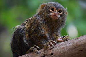 Картинка Детеныши Смотрит Pygmy marmoset Животные