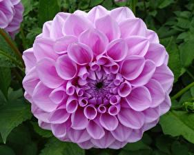 Фото Георгины Крупным планом Розовая Цветы