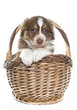 Картинка Собаки Австралийская овчарка Белый фон Щенок Корзинка