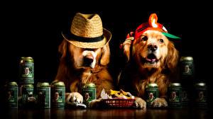 Обои Собаки Черный фон 2 Ретривер Шляпа Забавные Животные