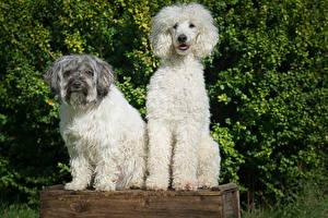Обои Собака Пуделя Вдвоем животное