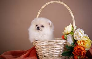 Картинка Собаки Шпиц Белый Корзина Животные