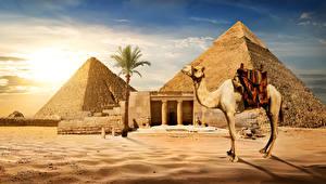 Картинки Египет Пустыни Верблюды Пирамида Пальмы Песок Cairo Природа