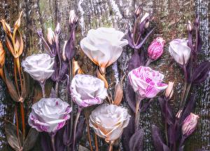 Картинки Эустома Доски Бутон Цветы