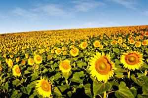 Фотография Поля Подсолнечник Много Цветы