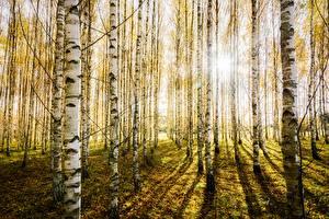 Картинки Леса Березы Деревья Ствол дерева Природа