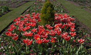 Фотография Сады Тюльпаны Красный Цветы