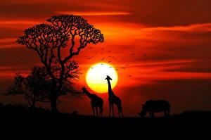 Фотографии Жирафы Рассветы и закаты Носороги Африка Солнце Силуэт Животные