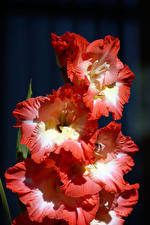 Картинки Гладиолусы Вблизи Цветы