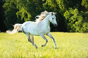Фотография Лошади Бег Белый Животные