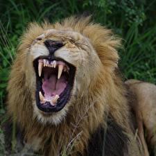 Картинка Львы Большие кошки Клыки Оскал Животные
