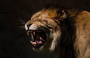 Картинки Львы Клыки Злость Животные