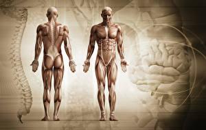 Фотография Мужчины Мускулы Human Anatomy
