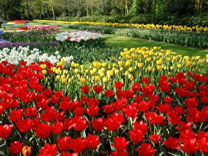 Фотография Нидерланды Парки Тюльпаны Много Keukenhof
