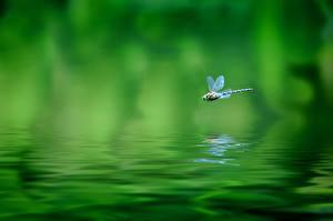 Фото Стрекозы Вода Летящий Зеленый Животные
