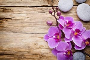 Фото Орхидеи Розовый