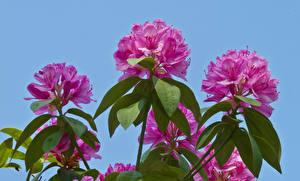 Фотография Рододендрон Вблизи Цветной фон Розовый Цветы