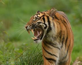 Фото Тигры Клыки Оскал Животные
