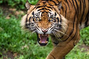 Обои Тигры Клыки Усы Вибриссы Оскал Смотрит Животные