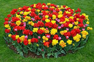 Обои Тюльпаны Много Разноцветные