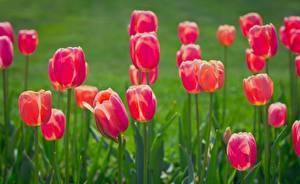 Картинки Тюльпаны Розовый