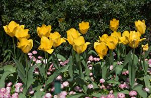 Фотография Тюльпаны Желтый
