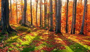 Картинка Украина Леса Осенние Закарпатье Ствол дерева Листва