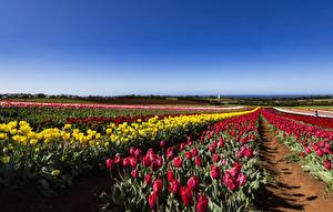 Картинки Австралия Поля Тюльпаны Много Tasmania