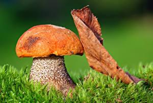Фотографии Осенние Вблизи Грибы природа Листва Трава