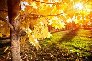 Картинка Осень Деревья Клён Листва Природа